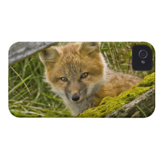 Young Red Fox looking through fence on San Juan iPhone 4 Cover