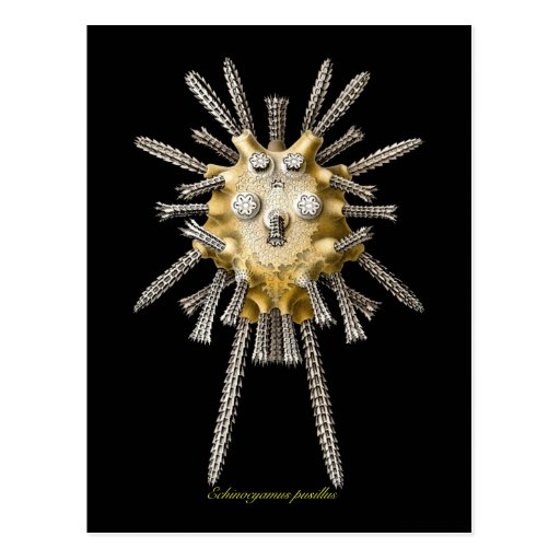 Young Sea Urchins Post Cards