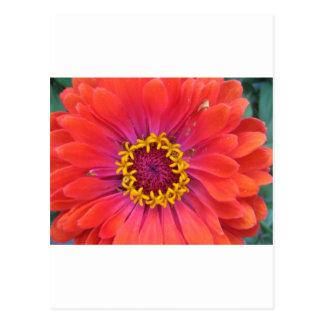zinnia,orange state fair zinnia postcard