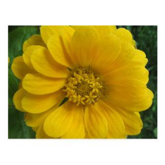 Zinnia Yellow Golden Flower Postcard